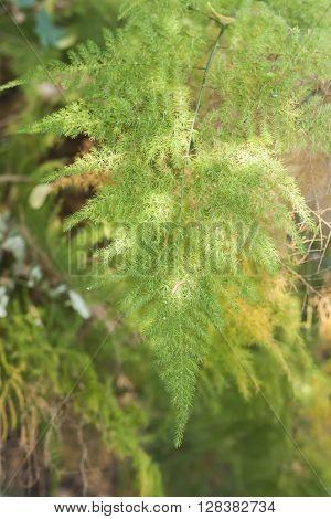 fern or ground fern or tropical fern