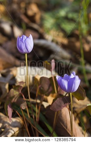 The first spring flowers are pleasing to the eye in the spring wood