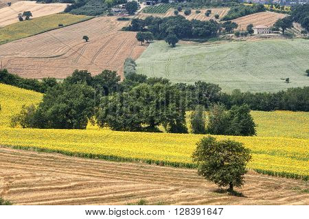 Country landscape in Marches (Italy) at summer with sunflowers