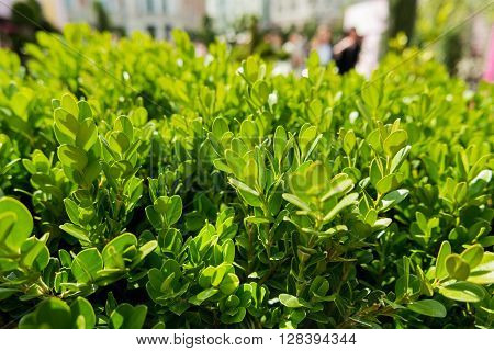 Natural background with Buxus (Boxtree boxwood). Close up photo in sunny day. Street decoration with plants.
