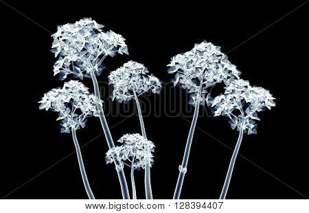 X-ray Image Of A Flower Isolated On Black , The Hortentia