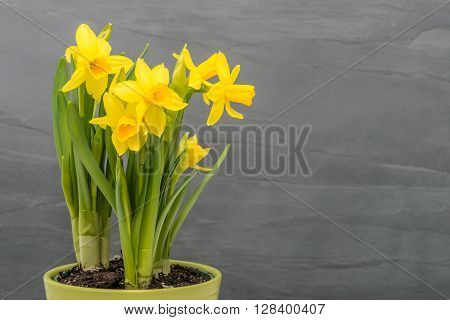 Yellow daffodils in a pot against a gray slate background.