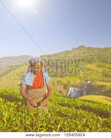 Tea picker picks leaves.