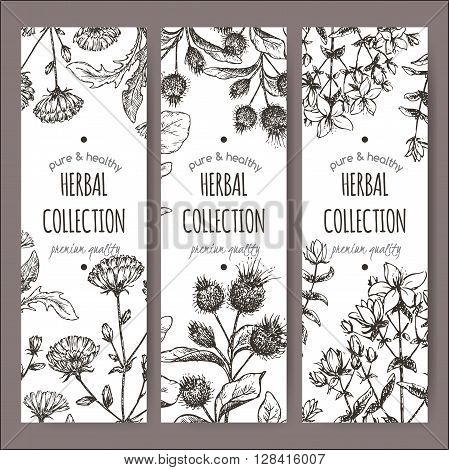 Set of 3 vector herbal tea labels with burdock, chicory and saint john wort hand drawn sketch. Placed on white background.
