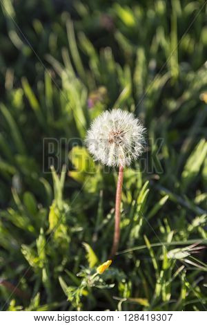 dandelion flower with its white and fragile seeds waiting fly