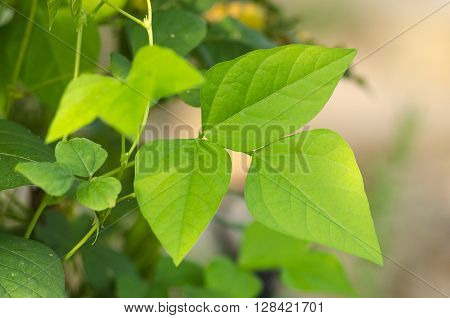 Green fresh organic leaves of wing beans in plant with shallow depth of field.