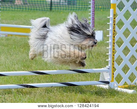 Havanes Leaping Over a Jump at Dog Agility Trial