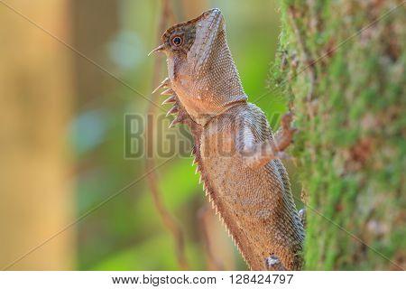 Masked Spiny Lizard On Tree