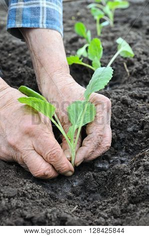 senior woman planting cabbage seedling in the vegetable garden