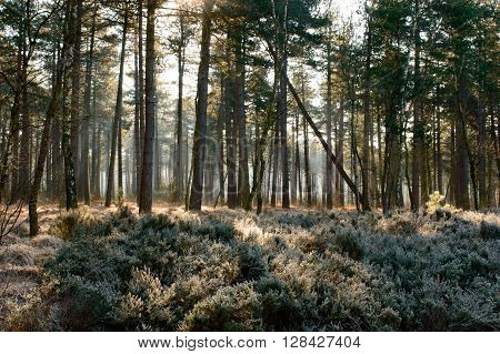 Sun rays hitting the frosted plants in a forrest on a cold winter morning