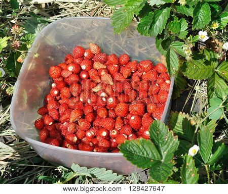 a lot of juicy freshly harvested wild strawberries