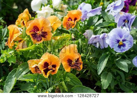 Beautiful Pansies or Violas growing on the flowerbed in garden. Garden decoration