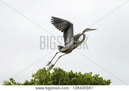 Grey Heron (Ardea cinerea) in flight Cape Coral Florida