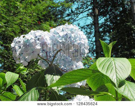 Purple Hydrangea flowers (Hydrangea macrophylla) in a garden in summertime