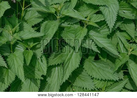 Lush Foliage Of Nettle Is As Natural Green Background.
