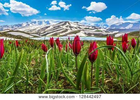 red tulips on the mountain summit.endemic flower species.