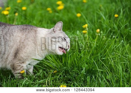 Hungry grey cat eating grass and grazing the lawn in summer, copy space
