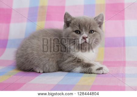 The little kitten looks at you significantly. The British two-tone kitty. Cute pet cat on a colored background.