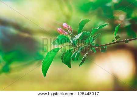 Flowerage of a Cherry Tree with Purple Flowers,Spring Nature,Summer Relax,Selective Focus,Toned