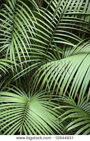 Tropical plant fronts in Daintree Rainforest, Australia.