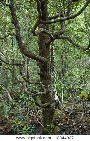 Tree with many low branches in Daintree Rainforest, Australia.