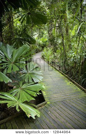 Wooden walkway through lush plants in Daintree Rainforest, Australia.