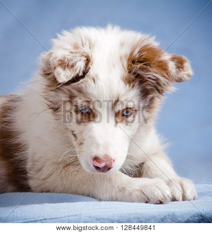 cute merle color border collie puppy over blue background