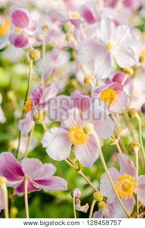 Beautiful flowers anemones Japanese in a garden, a close up