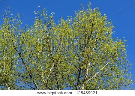 Spring Green Tree On Blue Sky Background