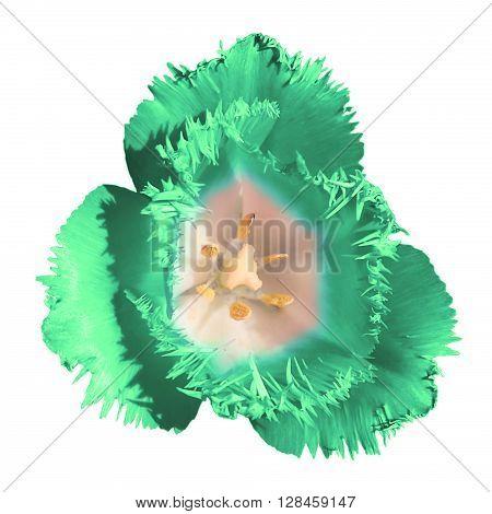 Exotic Strange Tender Tulip Flower Macro Isolated On White