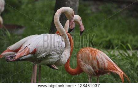 Flamingos stand on one leg to the other group of flamingos