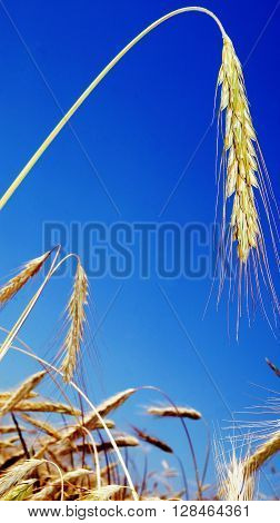 Ears of ripe wheat against the blue sky.
