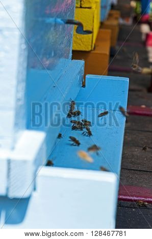 Bees swarming in front of the blue hive closeup