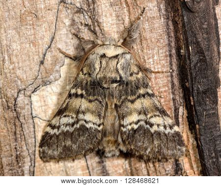 Lunar marbled brown moth (Drymonia ruficornis). British nocturnal insect in the family Notodontidae at rest