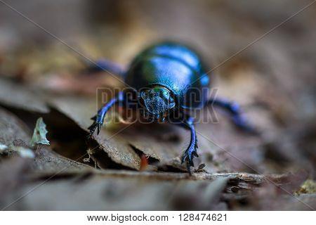 Macro Of A Black Beetle