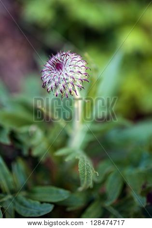 Closeup of a wild flower in the mountains