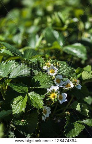 Strawberry Field Closeup