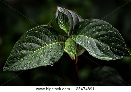 Fresh Green Leaves Growth Rain Drops Spring Growing