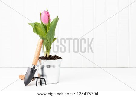 Beautiful pink tulip in a metal container with small garden tools.