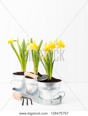 Silver metal planter holding three beautiful spring daffodils.