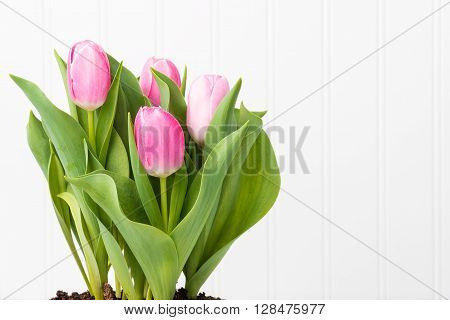 Arrangement of vibrant pink tulips with ample copy space.