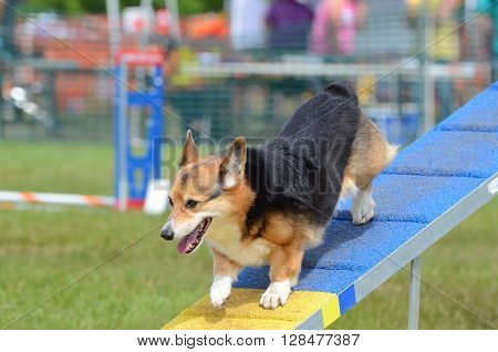 LAKE ELMO, MN - JUNE 8 2016: Pembroke Welsh Corgi Running on a Dog Walk at an Agility Trial
