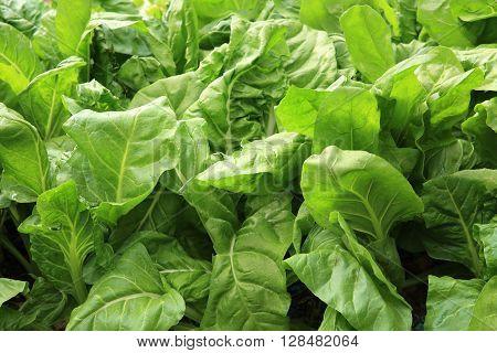 green sliverbeet plants grow in vegetable garden