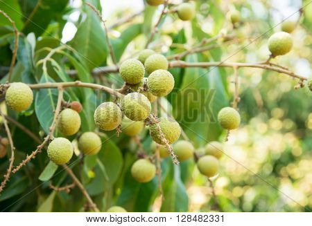 Young longan, in agriculture north of  Thailand