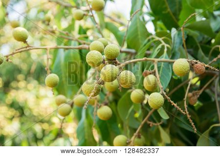 Young longan , in griculture north of  ThaiLand