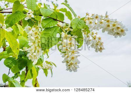 Bird cherry flowers