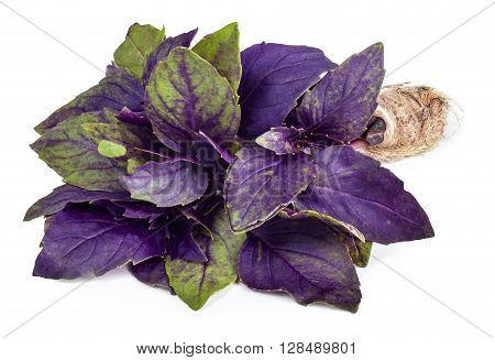 Fresh garden herb. Violet basil isolated on white background. Purple basil tied in a bunch with twine isolated on white