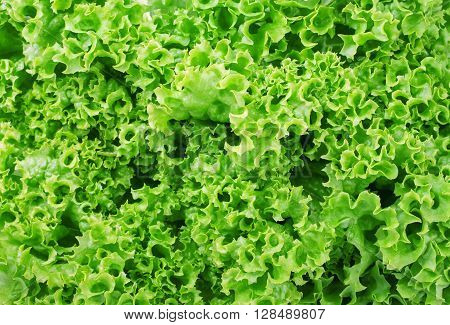 Lettuce salad fragment. Abstract background. The background of the lettuce. Vegetable background