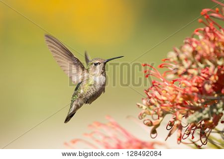 Female Anna's Hummingbird Flying Closeup on Green Background, Santa Cruz, California