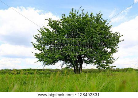 alone tree on green meadow